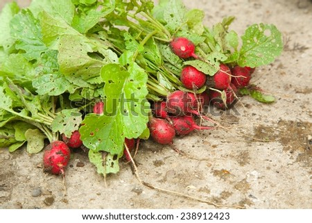 Fresh picked not washed radishes from the home garden - stock photo