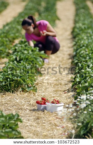 Fresh picked strawberries in strawberry field - stock photo