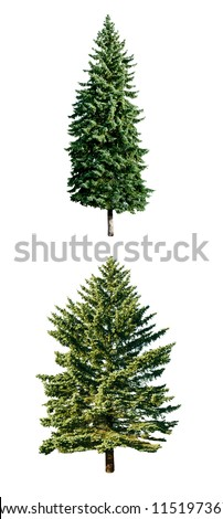 fresh pine trees isolated on white background - stock photo