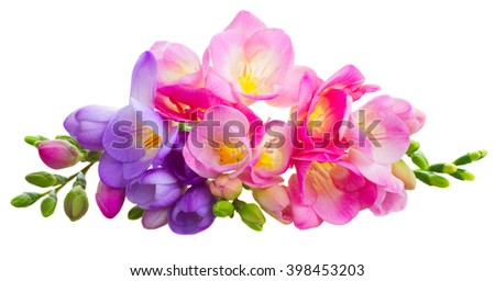 Fresh pink and blue freesia flowers with buds isolated on white background - stock photo