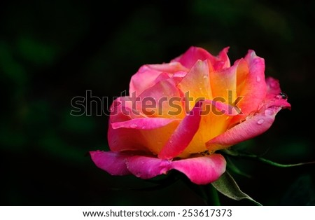 Fresh, pink, Close Up of a beautiful roses on bokeh background. Very shallow DOF. - stock photo