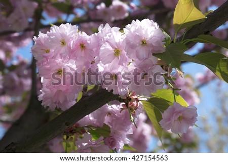 Fresh pink flowers of a spring sakura - stock photo
