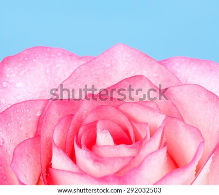 fresh pink rose flower, on blue background - stock photo