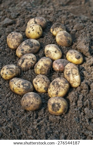 Fresh potatoes just dug out of the ground. - stock photo