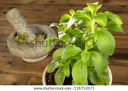 Fresh potted stevia plant and dried leaves in a mortar - stock photo
