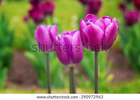 Fresh purple tulips in early spring - stock photo