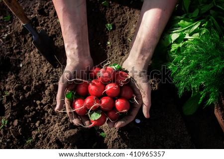 Fresh radish in farmer hands - stock photo
