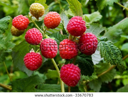 fresh raspberries on the branch - stock photo