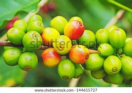 Fresh raw coffee beans on tree - stock photo