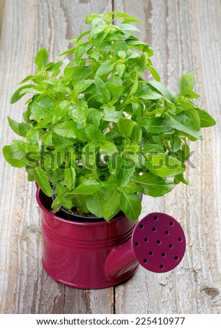 Fresh Raw Green Basil Leaves with Water Drops in Purple Watering Can isolated on Rustic Wooden background - stock photo