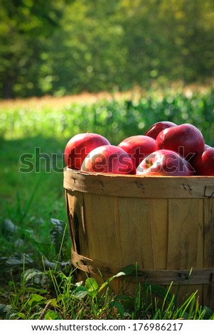 Fresh red apples in a basket in a orchard during fall season - stock photo