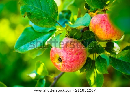 Fresh Red Apples On Apple Tree Branch, Bunch, Ready To Be Harvested. Late Summer Or Early Autumn Harvest - stock photo