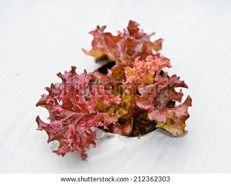 Fresh red lettuce on Hydrophonic Plantation  - stock photo