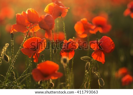 Fresh red poppies blooming on field in the sunny rays - stock photo