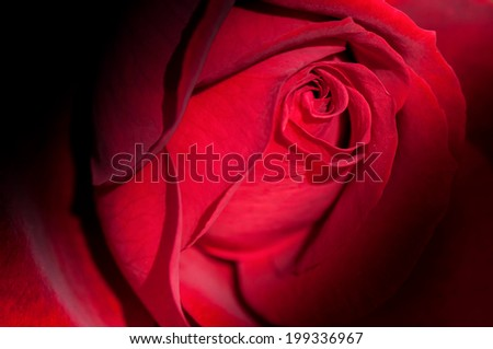 Fresh red rose flower close up - stock photo
