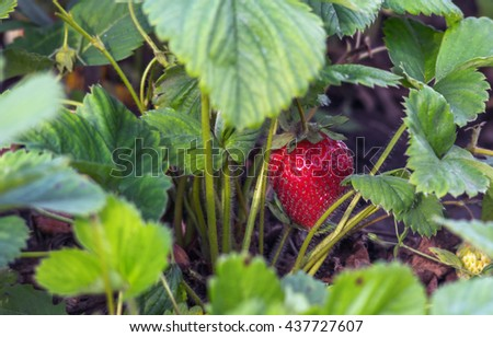 Fresh red strawberry with stems in the plantation, horizontal shot, selective focus - stock photo