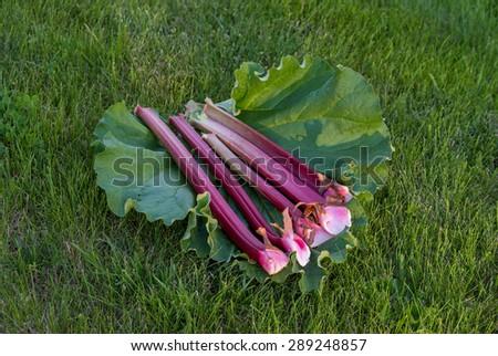 Fresh rhubarb - stock photo