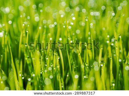 Fresh rice seed with water drop - stock photo