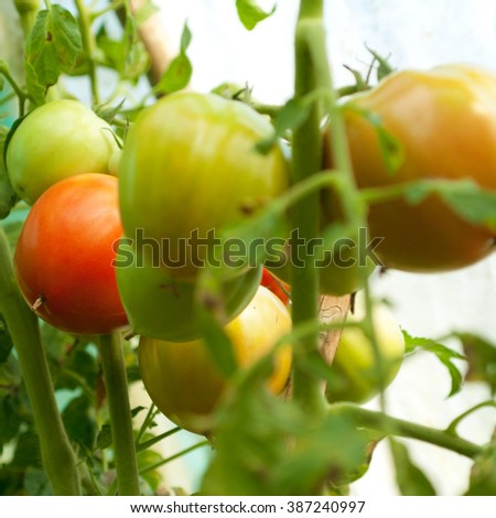 Fresh ripe and unripe tomatoes in the greenhouse - stock photo