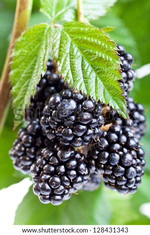 Fresh ripe blackberry on the twig with leaves - stock photo
