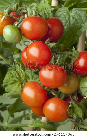 Fresh ripe cherry tomatoes on a plant - stock photo
