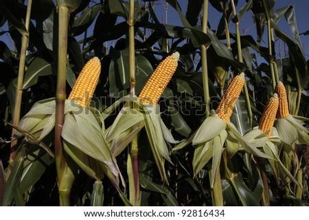 Fresh ripe corn growing in rural field - stock photo