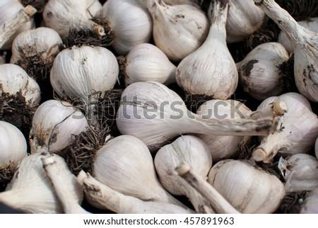 Fresh ripe garlic - stock photo