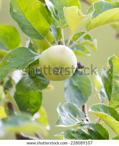 Fresh ripe green apples on tree in summer garden - stock photo