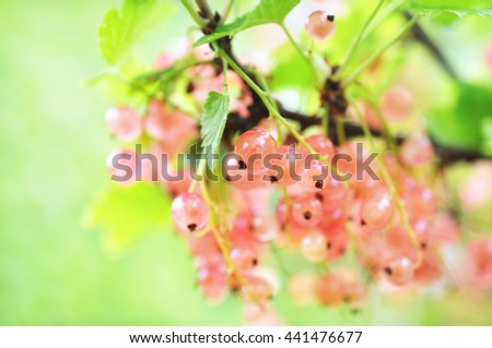 Fresh ripe sweet pink currant berries on bunch, selective focus - stock photo