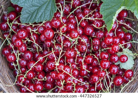 Fresh ripe sweet red currant in wicker basket - stock photo