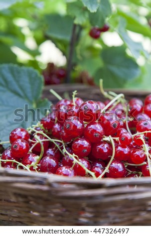 Fresh ripe sweet red currant in wicker basket on berry bush background - stock photo