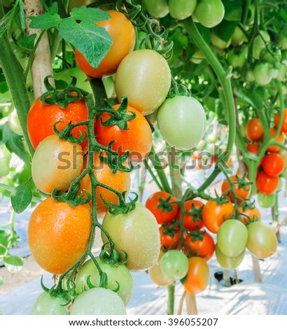 Fresh ripe tomatoes growing on a branch in garden, Shallow depth of field. Selective focus. - stock photo