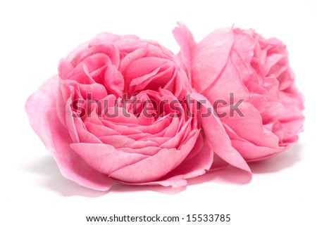 Fresh rose on a white background - stock photo