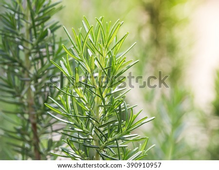 Fresh Rosemary Herb grow outdoor. Rosemary leaves Close-up.  - stock photo