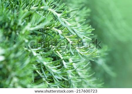 Fresh Rosemary Herb growing in garden - stock photo