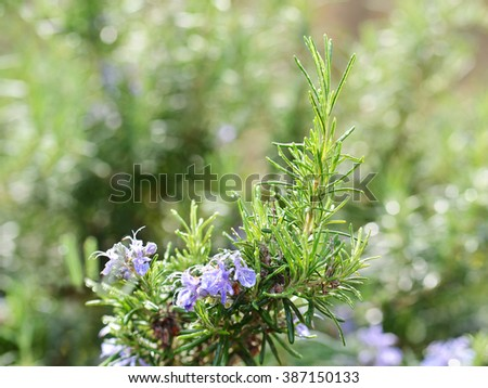 Fresh Rosemary Herb With Blossoming Flowers - stock photo