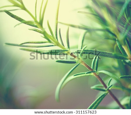 Fresh rosemary leaves. Green flavoring outdoor. Closeup of Organic Fresh rosemary plant growing in the garden. Condiment concept. Ingredients for cooking and medicine - stock photo