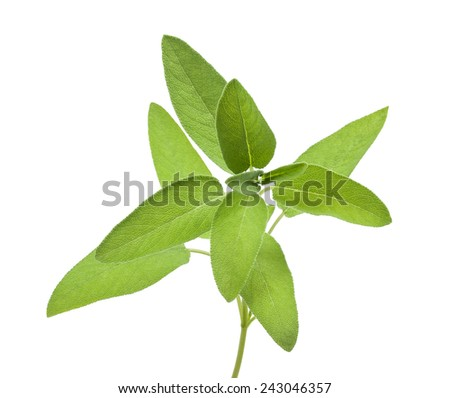 Fresh Sage bunch isolated on white background - stock photo