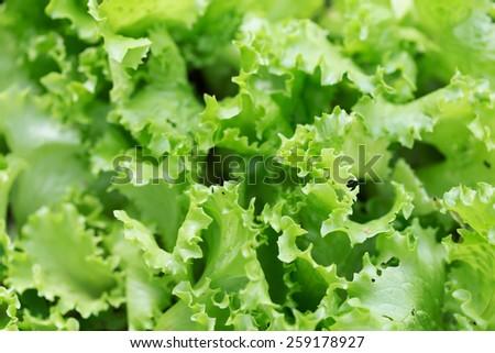 Fresh salad background at garden - stock photo