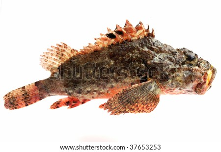 Fresh sea fish, stone-perch, on white background - stock photo