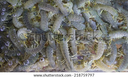 Fresh shrimp in the tank - stock photo