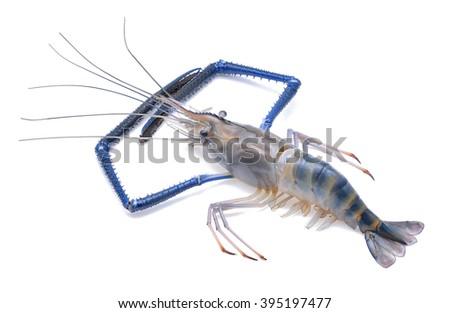 Fresh shrimp isolated on white background - stock photo