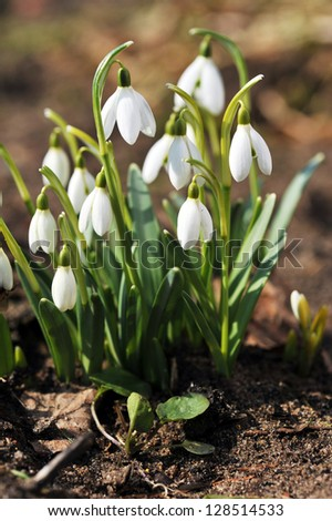Fresh snowdrop flowers having just grown from earth - stock photo