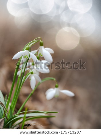 Fresh snowdrops in early spring  - stock photo