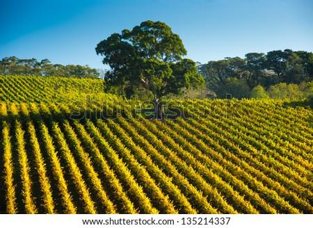 Fresh South Australian vineyard - stock photo