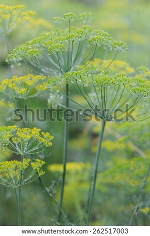 Fresh spice and herbs in the garden. Field of dill - stock photo