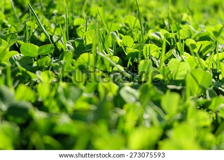 Fresh spring clover macro - stock photo