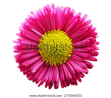 Fresh spring daisy flower isolated on white. Pink, close-up - stock photo