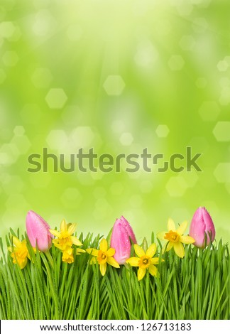 fresh spring easter flowers. narcissus and tulips in grass with water drops over green blurred background - stock photo