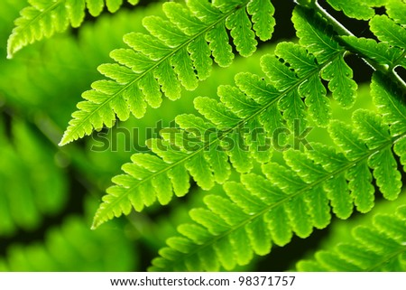 Fresh spring green fern leaves in forest. - stock photo